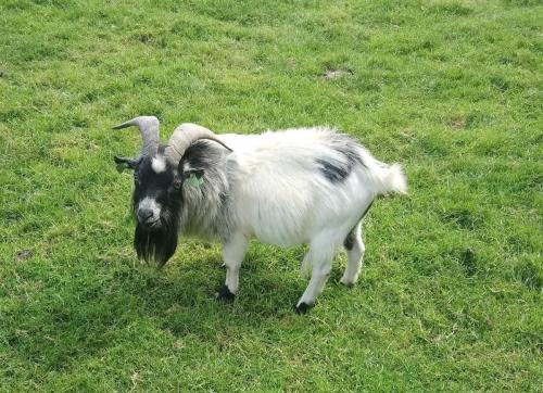 Hello ye ol' Goat