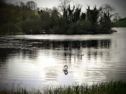 Swans on Lough Gur